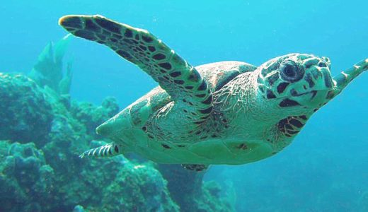 Hawksbill Turtle - poisonous animal