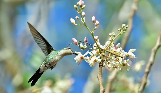Flying Cuban Bee Hummingbird (Mellisuga helenae) single adult male stem, Zapata peninsula, Cuba, Caribbean.Bee hummingbirds are the smallest birds in the world.