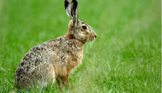 brown_hare_istock