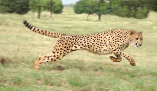 fastest animal on the planet
