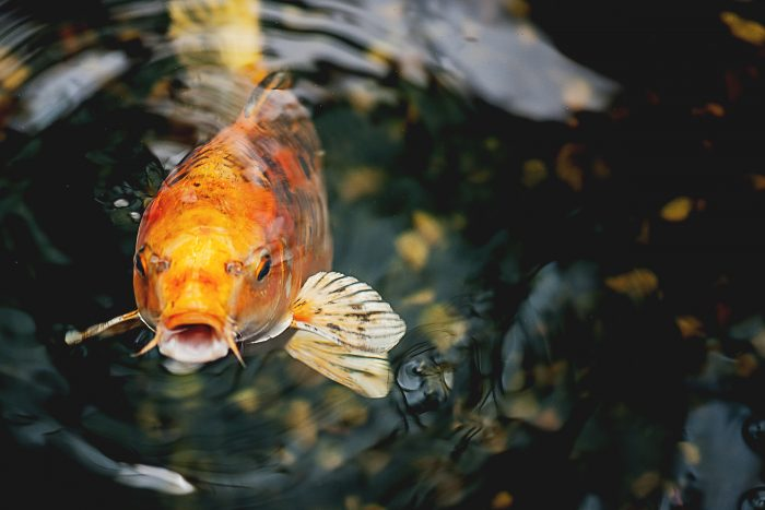 Top 10 longest living animals onekindplanet animal education for Can you eat koi fish