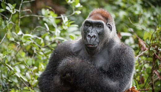 western-gorilla