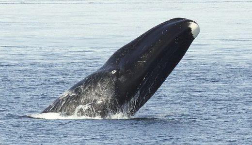 bowhead-whale-bering-land-bridge-national-preserve