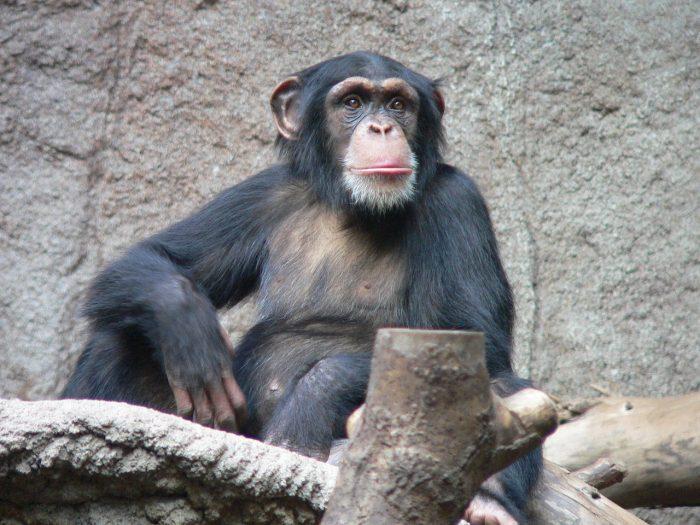Tool Use In Chimpanzees Onekindplanet