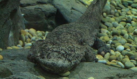 Amazing Facts about the Chinese Giant Salamander ...