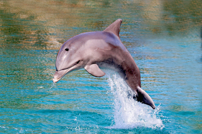 Amazing Facts about Dolphins - OneKind - photo#7