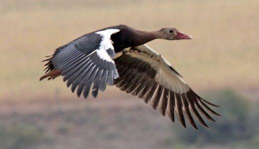spur-winged-goose-dick-daniels-wiki