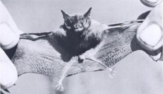 kittis-hog-nosed-bat-jeffrey-a-mcneeley
