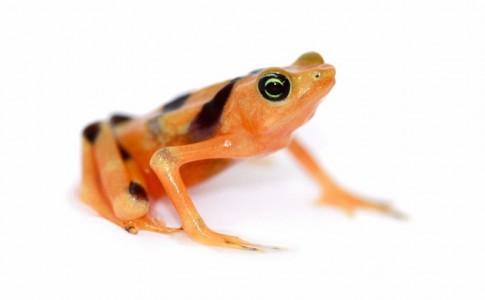 Panamaian Golden Frog
