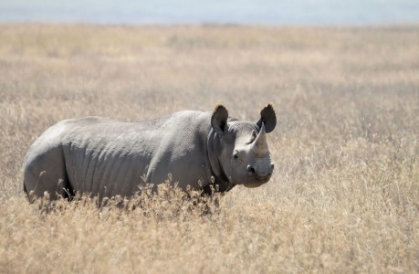 Western Black Rhinoceros