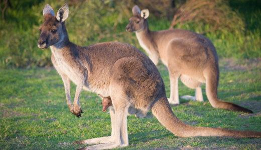 kangarooweb1