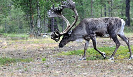 reindeerweb1