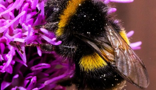 Look out for bumblebees: It's National Pollinator Week