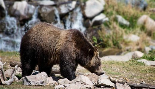 Defend Grizzly Bears in Yellowstone National Park