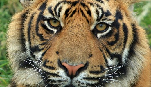 Get your stripes on: it's International Tiger Day