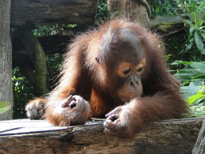 Orangutan - an example of an endangered animal