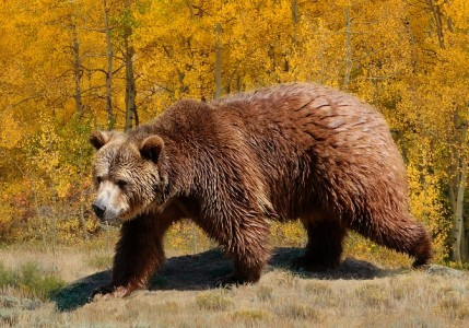 Amazing Facts about Grizzly Bears | OneKindPlanet Animal ... - photo#44