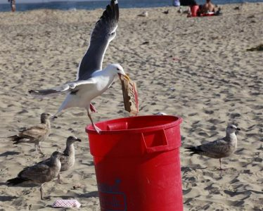 Seagull searching in bins for rubbish