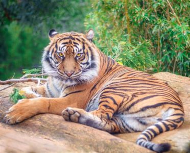 Tiger - an example of an endangered animal