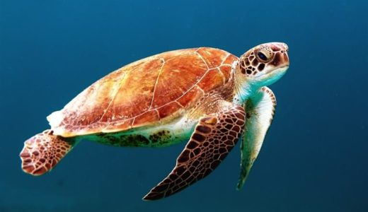 Why sea turtles are awesome