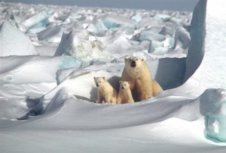 Polar bears on Arctic Sea Ice
