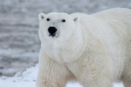 Polar bear on Arctic sea ice
