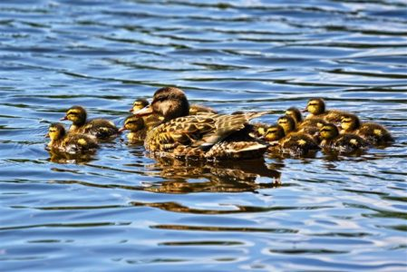 Why You Shouldn T Feed Ducks Bread Onekind Planet Blog