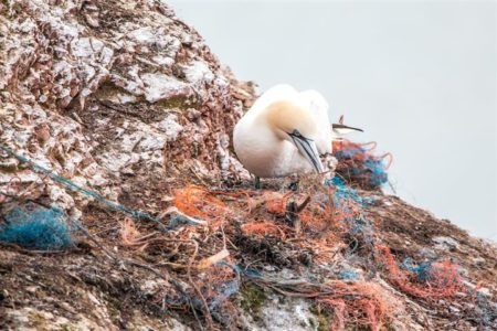 Gannet with beach rubbish