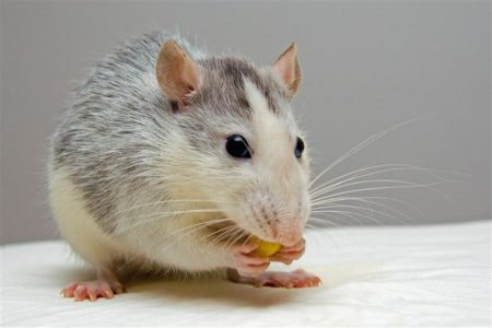Rat for International Animal Rights Day