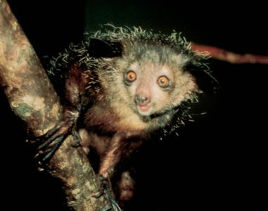 Aye-Aye, wildlife wonders of the world