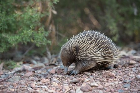 Echidna, wildlife wonders of the world
