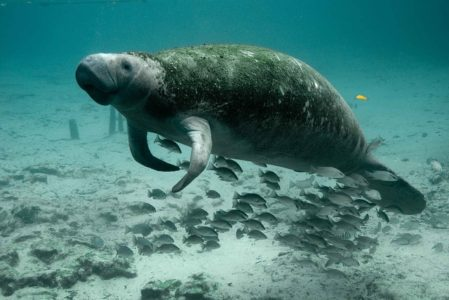 Manatee, wildlife wonders of the world