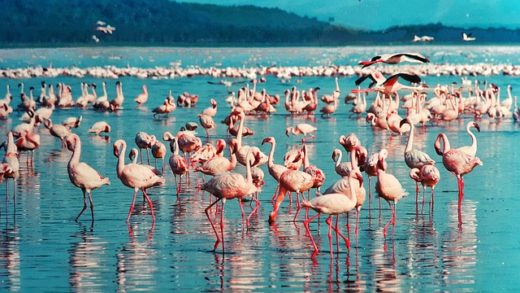 Flamingo - wildlife wonders of the world, birds