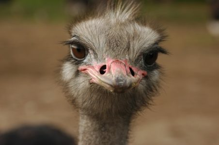 Ostrich - wildlife wonders of the world, birds