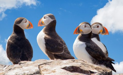 Puffin - wildlife wonders of the world, birds