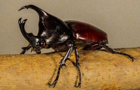 Rhinocerous beetle, wildlife wonders, invertebrates