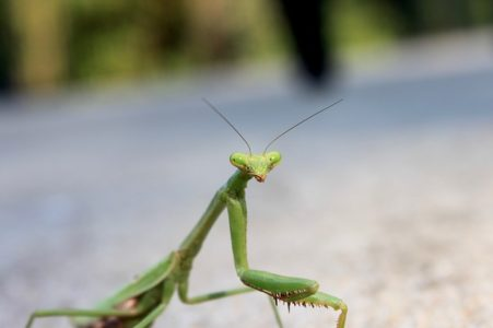 Preying mantis - wildlife wonders - invertebrates