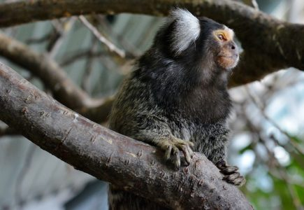 Marmoset - animal dad