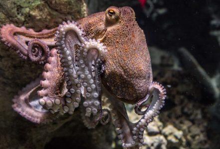Octopus - wildlife wonders - invertebrates
