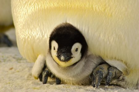 Emperor penguin - animal dad