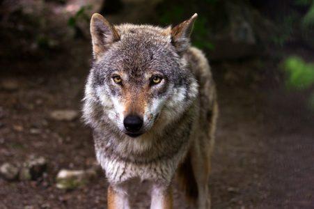 Wolf - animal dad