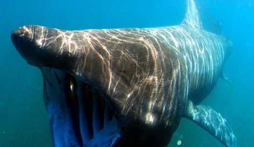 Wildlife wonders - basking shark