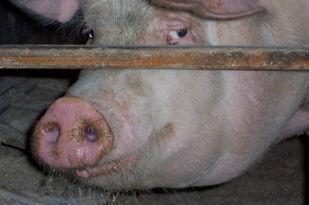 End the cage age - farm animals in cages