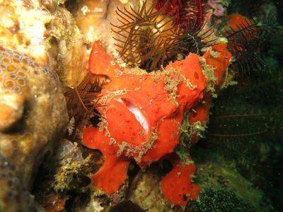 Wildlife wonders - frogfish
