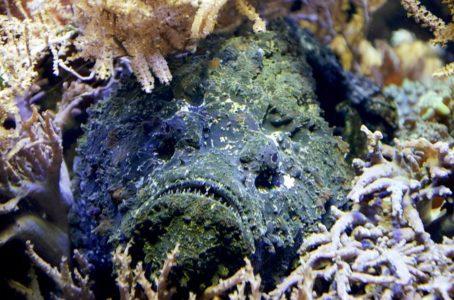 Stonefish - wildlife wonders