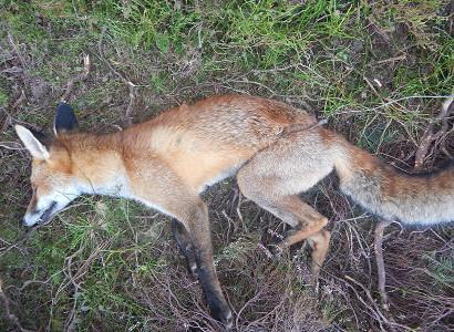 Dead snared fox