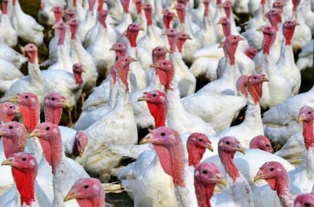 Intensive farming of turkeys
