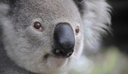 Koala - Australian animal