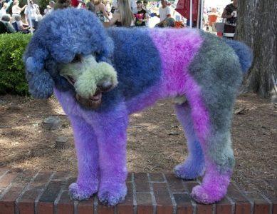 Pet hair dye - poodle