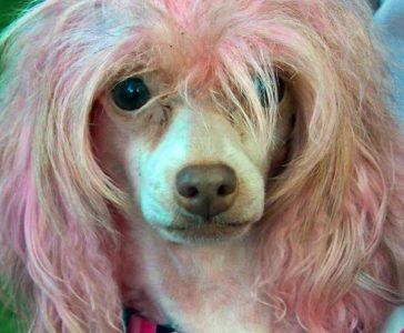 Pet hair dye - dog